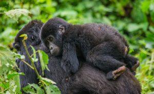 3 Days gorilla tracking uganda safari