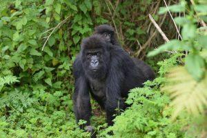 Gorilla Tracking in Rwanda