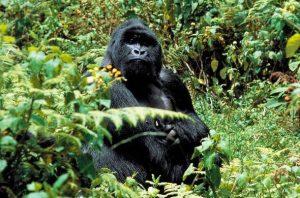 2 days Gorilla Trek Safari