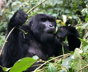 4 Days Chimpanzee Gorilla Trekking Uganda Safari — Wild Travel Safaris & Adventure