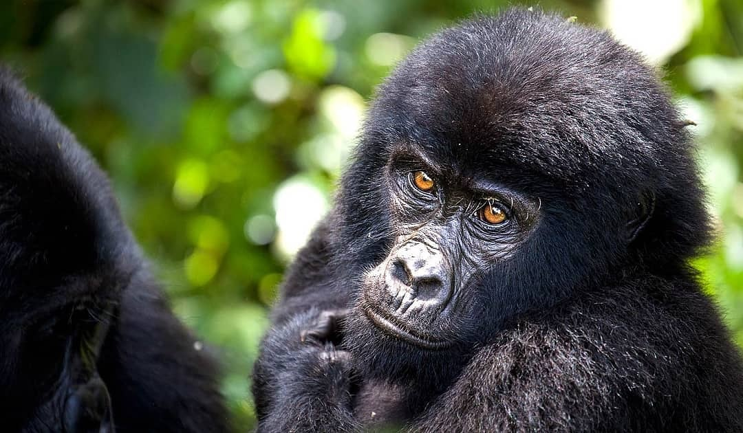 Top Better Reasons Why You Should Visit Rwanda On A Vacation Wild Travel Safaris Adventure
